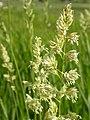 Phalaris arundinacea (3882414219).jpg
