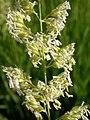 Phalaris arundinacea (3883210836).jpg
