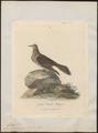 Phaps chalcoptera - 1789 - Print - Iconographia Zoologica - Special Collections University of Amsterdam - UBA01 IZ15600275.tif