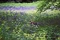 Pheasant in Bluebells at Kew Gardens - geograph.org.uk - 665918.jpg