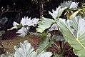 Philodendron Wilsonii 2zz.jpg