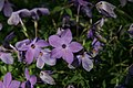 Phlox stolonifera Sherwood Purple 6zz.jpg
