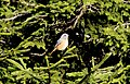 Phoenicurus phoenicurus - Common Redstart, Giresun 2018-08-16 03.jpg