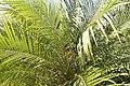 Phoenix roebelenii 36zz.jpg