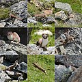 Photocollage of the ermeline when he was hunting for mices under the rock cobbles - panoramio.jpg