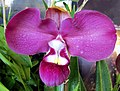 Phragmipedium kovachii - Flickr 003 cropped.jpg