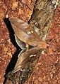 Phyllodes staudingeri, male (Erebidae- Calpinae- Phyllodini) (22963843524).jpg