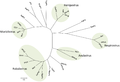 Phylogenetic tree based on the N protein sequences of selected paramyxoviruses..png