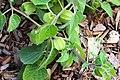 Physalis peruviana IMG 2263.jpg