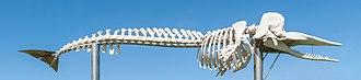 Sperm whale - A sperm whale skeleton