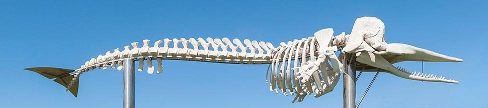 Physeter macrocephalus - skeleton