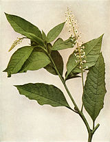 Phytolacca americana var americana WFNY-050.jpg