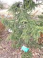 Picea orientalis - Red Butte Garden and Arboretum - DSC07505.JPG