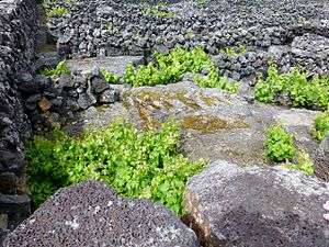 Landscape of the Pico Island Vineyard Culture - Image: Pico Island Vineyard 4
