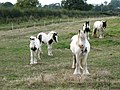 Piebald Party - geograph.org.uk - 564661.jpg