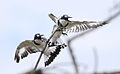Pied Kingfisher, Ceryle rudis at Pilanesberg National Park, South Africa (15804963229).jpg