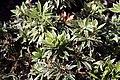 Pieris japonica Flaming Silver 5zz.jpg