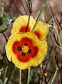 PikiWiki Israel 3168 MOuntain Horned-poppy-.jpg