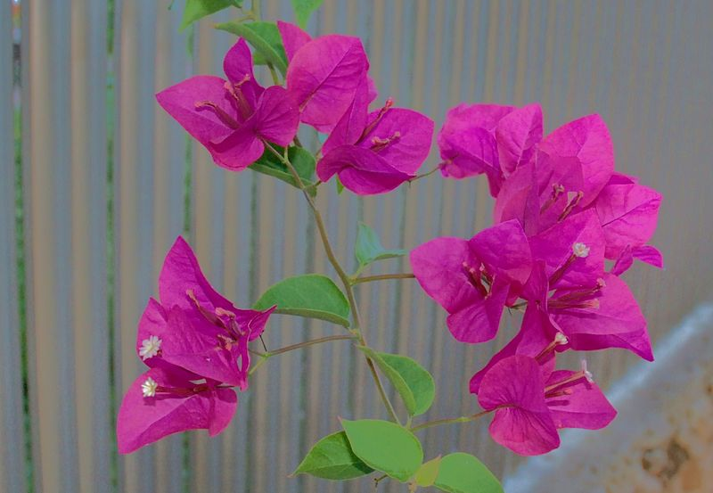 פרחים ברחובות רעננה