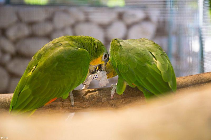 ציפור צפארי