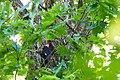 Pileated woodpecker (33530534204).jpg