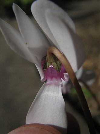 Cyclamen hederifolium - pink throat of white form