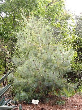 Pinus maximartinezii - University of California Botanical Garden - DSC08970.JPG
