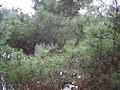 Pinus muricata wiki 3.jpg