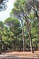 Pinus pinea Hurzuf2.JPG