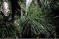 Pinus strobus 15zz.jpg