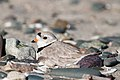 Piping Plover (7235504928).jpg
