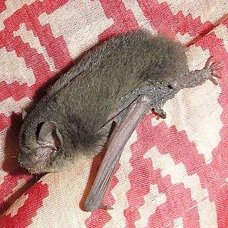 Indian pipistrelle species of mammal