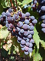 Piquepoul N grappe.jpg