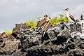Piquero patiazul (Sula nebouxii), Las Bachas, isla Santa Cruz, islas Galápagos, Ecuador, 2015-07-23, DD 13.jpg