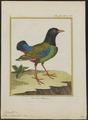Pitta sordida - 1700-1880 - Print - Iconographia Zoologica - Special Collections University of Amsterdam - UBA01 IZ16400261.tif