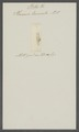Planaria truncata - - Print - Iconographia Zoologica - Special Collections University of Amsterdam - UBAINV0274 105 06 0003.tif