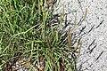 Plantago maritima plant (40).jpg