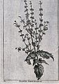 Plante chef-tereck; flowering stem. Line engraving by M. Poo Wellcome V0043069.jpg
