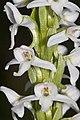Platanthera dilatata - Flickr 004.jpg