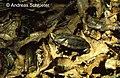 Platemys platycephala.jpg