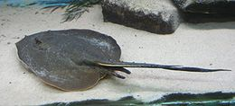 Plesiotrygon iwamae (Buffalo Zoo)