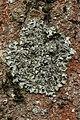 Pleurosticta acetabulum (40379230404).jpg