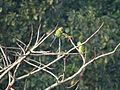 Plum headed parakeet 1.jpg