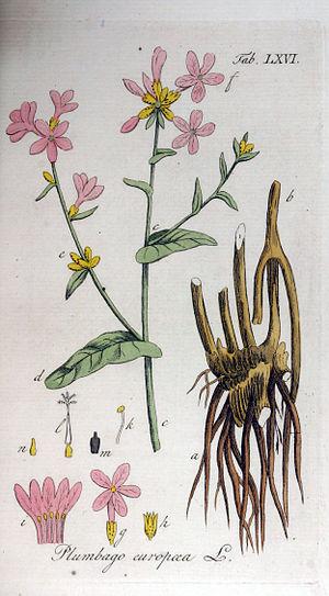 Plumbago europaea - Plumbago europaea