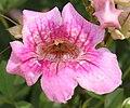 Podranea ricasoliana (Pink Trumpet Vine) in Hyderabad W2 IMG 5684.jpg