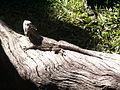 Pogona barbata Australia zoo 2006.jpg