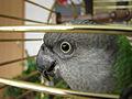 Poicephalus senegalus -pet in cage-6.jpg