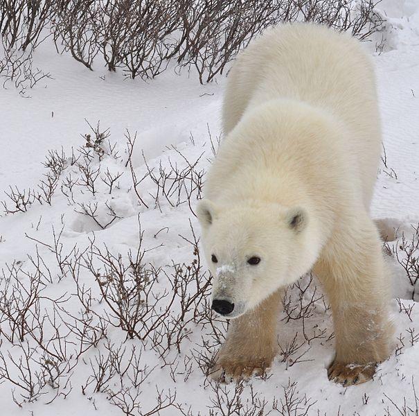 Osos polares Canada