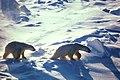 Polar Bears (6383864837).jpg