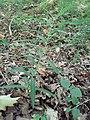 Polygonatum verticillatum Oberrimbacher Erdfälle 202006 11.jpg